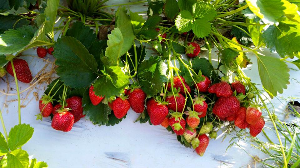Strawberries on white plastic to help maximize speed of growth.