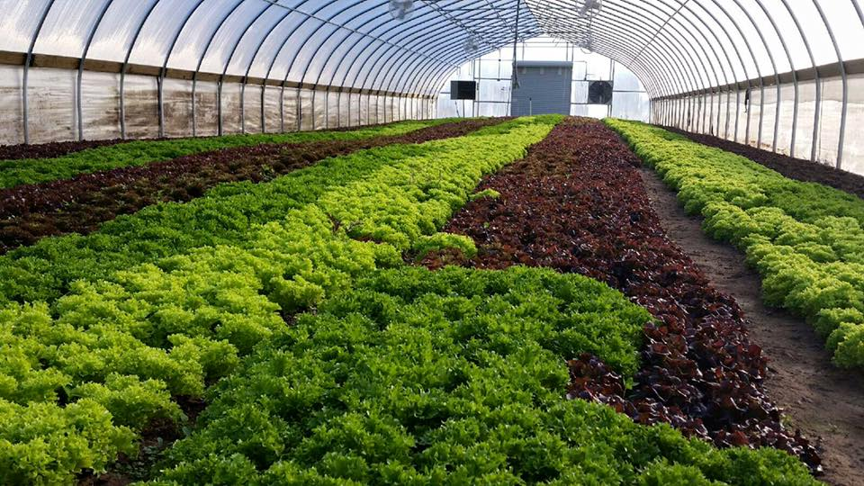 The best tasting spring mix, growing here in a high tunnel.
