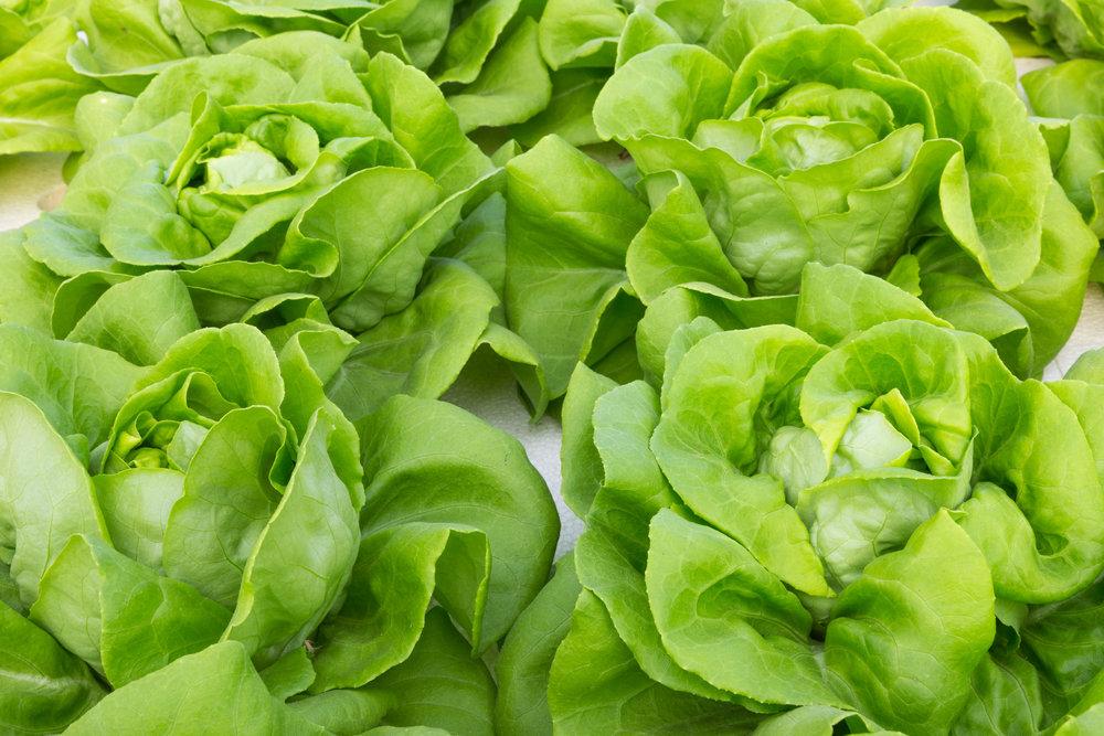 bibb_lettuce.jpg
