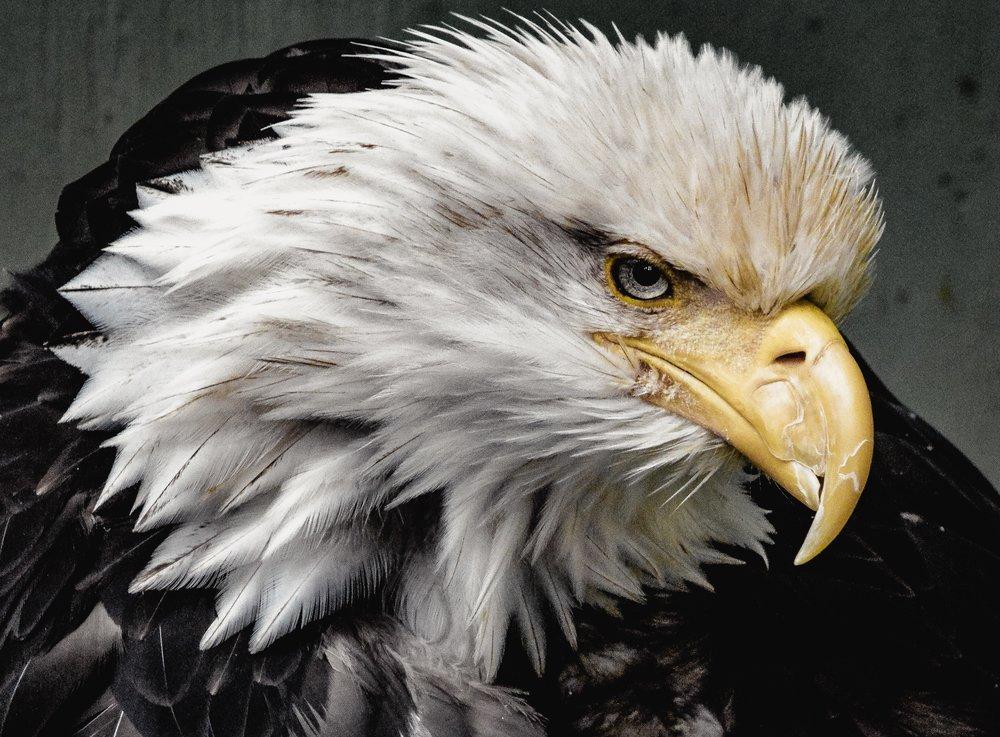 A fierce looking bald eagle