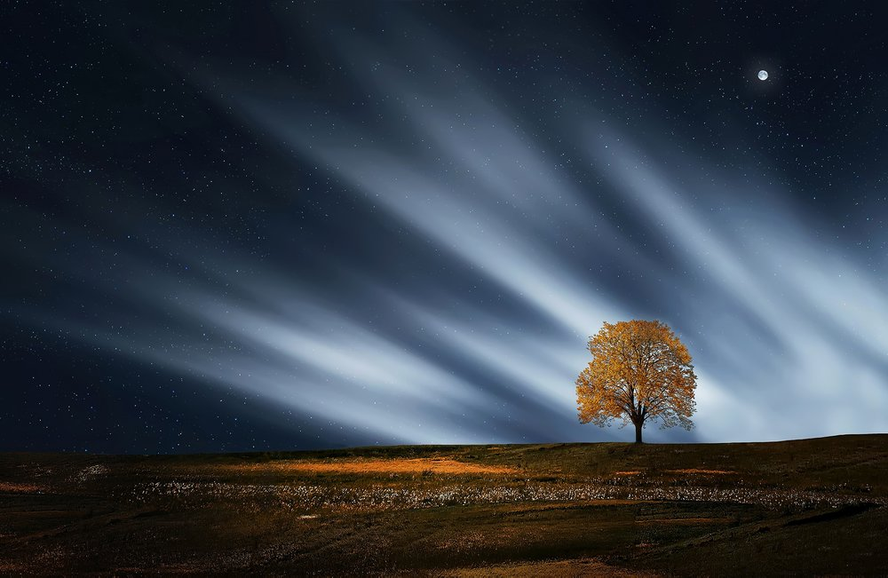 A lone maple tree in a field with northern lights in the background