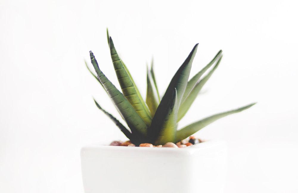 agave-aloe-vera-botanical-912410.jpg