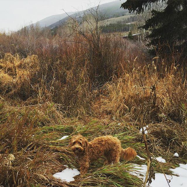 I found Snow!!! #denverdogs #australianlabradoodle #aussiedoodle #aussielabradoodle #labradoodle #doodles #dogs #dogsofinstagram #dogstagram