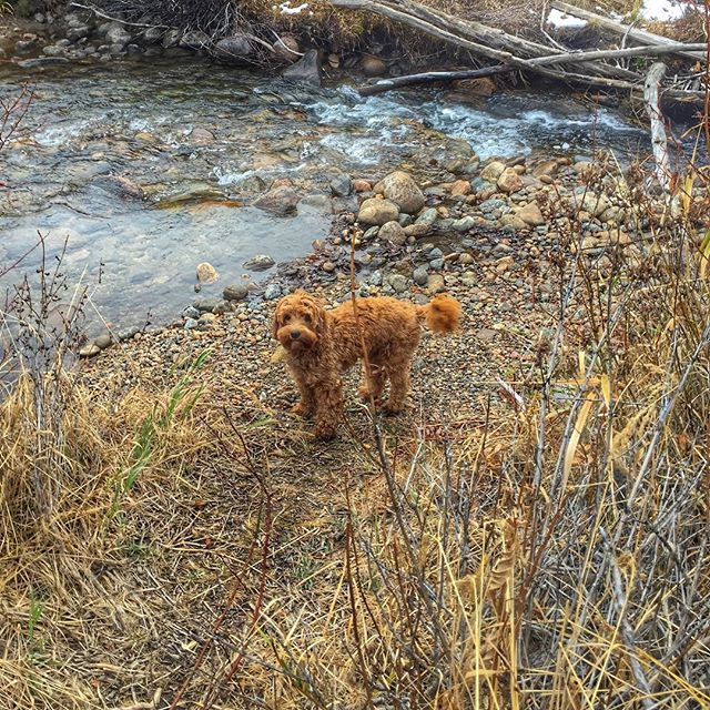 I love the water!! #denverdogs #doodlesofinstagram #doodles #dogsofinstagram #dogs #aussielabradoodle #australianlabradoodle  #coloradical #colorado