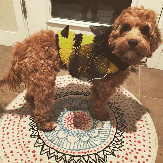 Patiently waiting to hand out more #candy! She couldn't #bee more excited to meet new people. #followLola #aussiesofinstagram #dogsofdenver #halloween2015