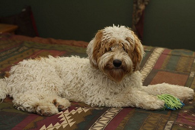 """Story's Apache Warrior AKA Chase""  Photo compliments of Desert Winds Labradoodles"