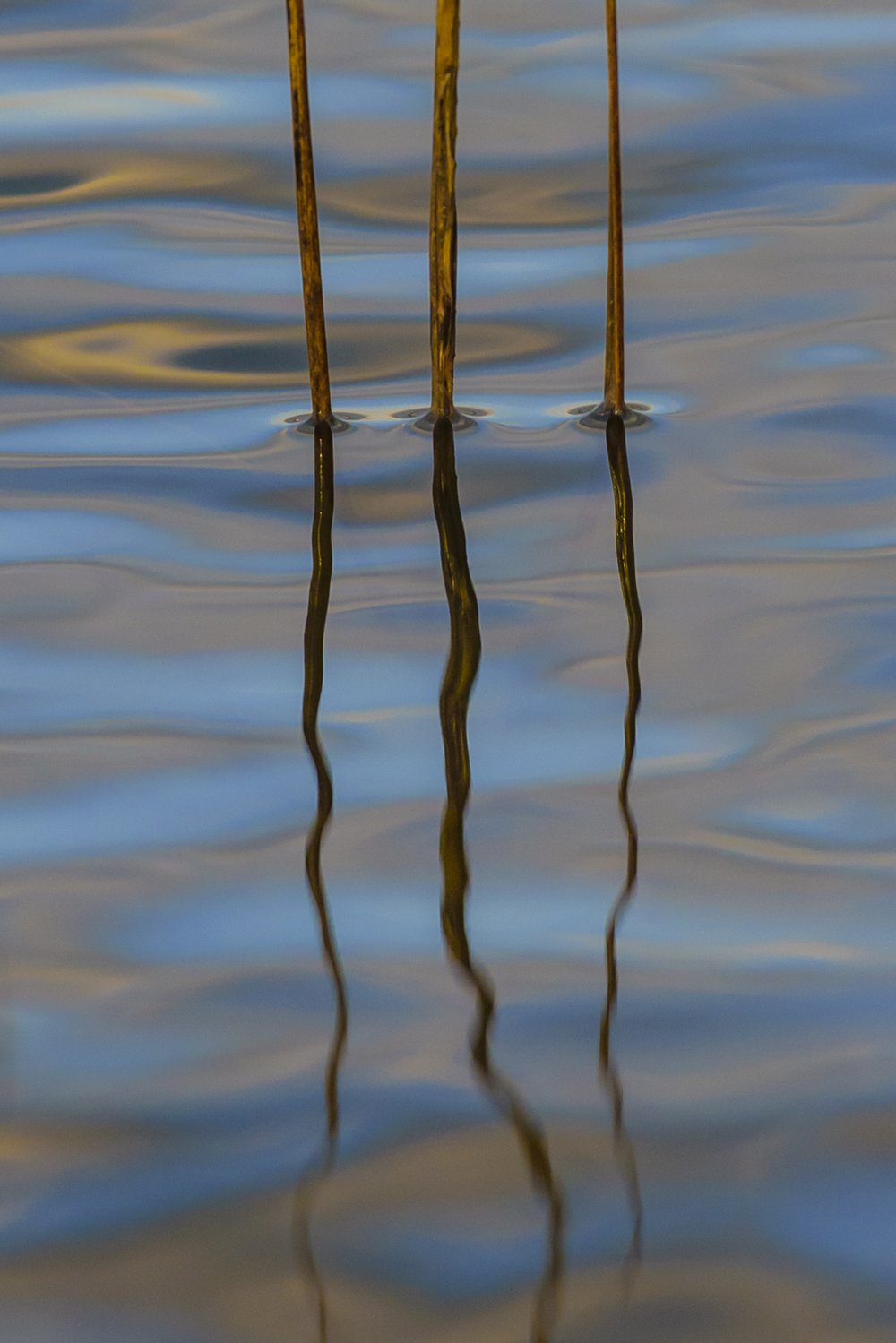 Three stalks of Spartina grass reflecting with the early morning clouds. A   vertical perspective.   M1215-3-3126