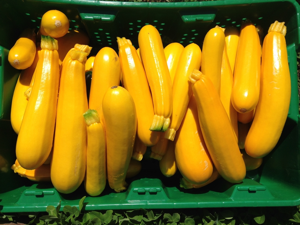 Yellow Fin zucchini