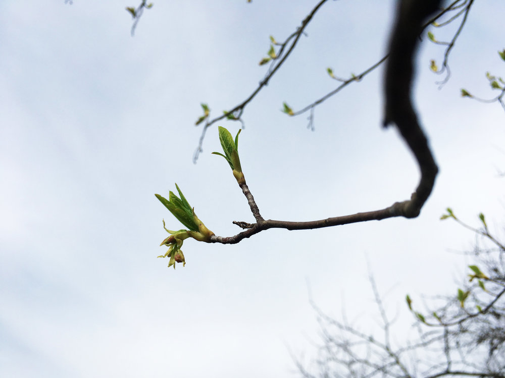 Willows, the first to leaf out