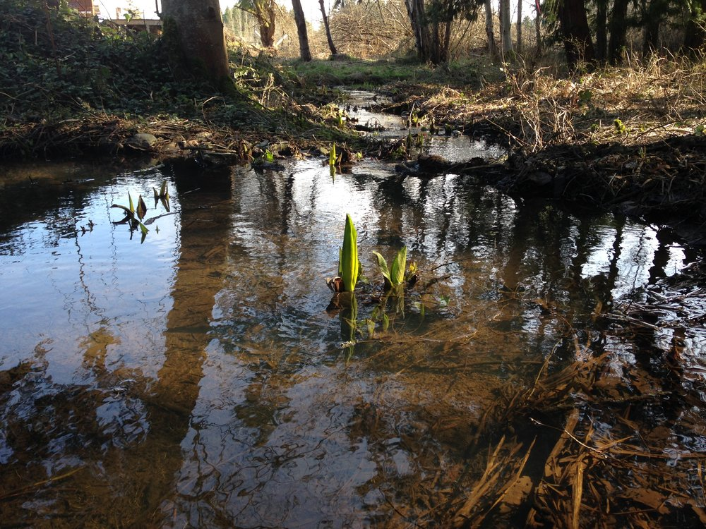 Skunk cabbage coming up in our creek