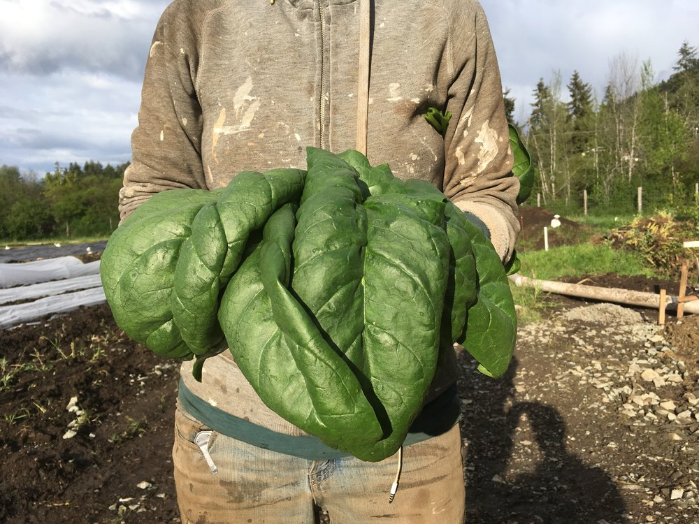 Colossal spinach!