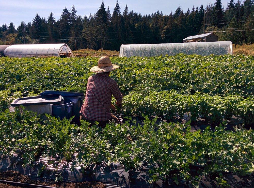 Harvesting basil