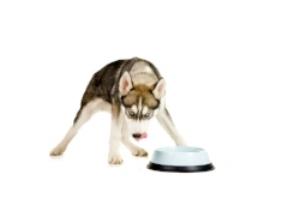 husky_guarding_bowl.jpg