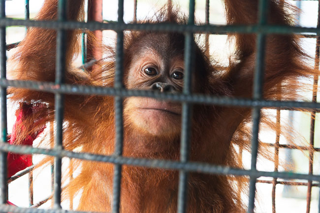 Cece's mother was killed so she could be put (illegally) on display in a tiny cage at a theme park. Image by Gita Defoe for Photographers Without Borders.
