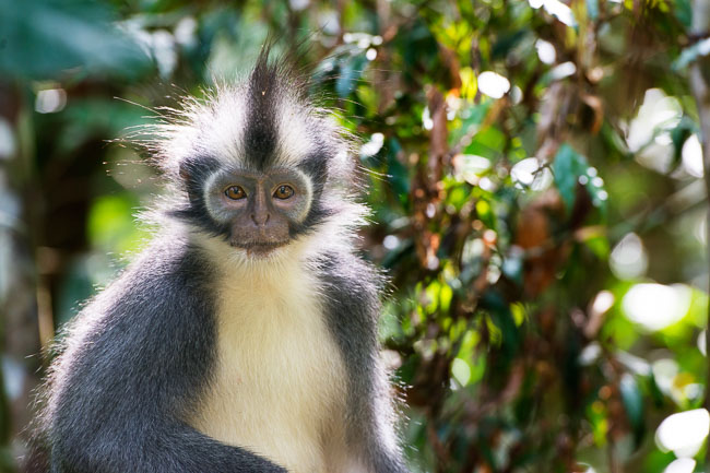 Thomas Leaf monkey in Gunung Leuser National Park. Image by Gita Defoe for Photographers Without Borders.