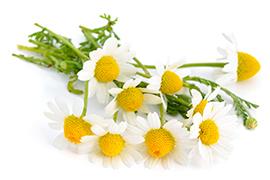 chamomile_web.jpg