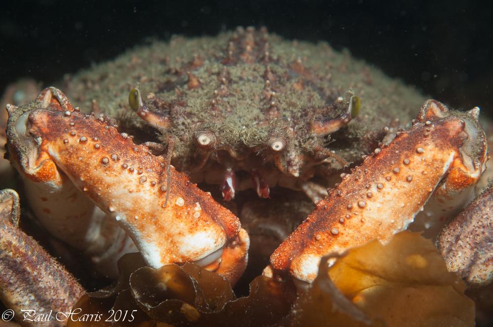 Spider Crab_2142.jpg