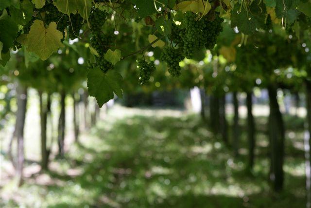 Albarino grapes.jpg