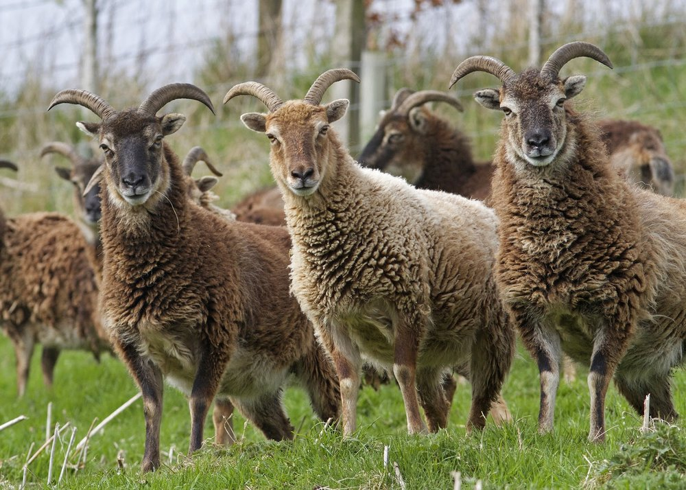Soay Sheep, Kirkton Cottages, Photo: Gerald Lincoln
