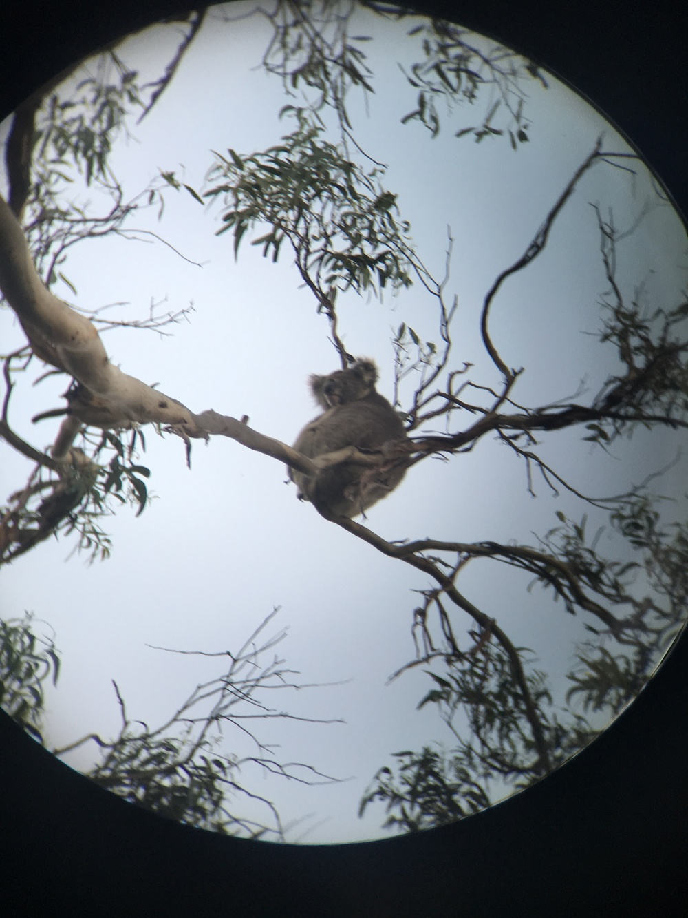 First Koala sighting!
