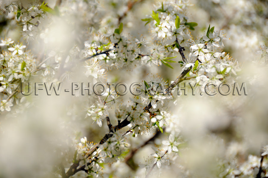 Awesome white spring blossoms gentle fairy-tale blurred backgrou