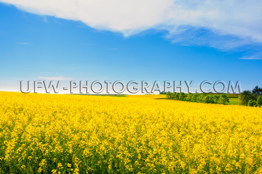 Beautiful spring summer scene yellow canola field blue sky Stock