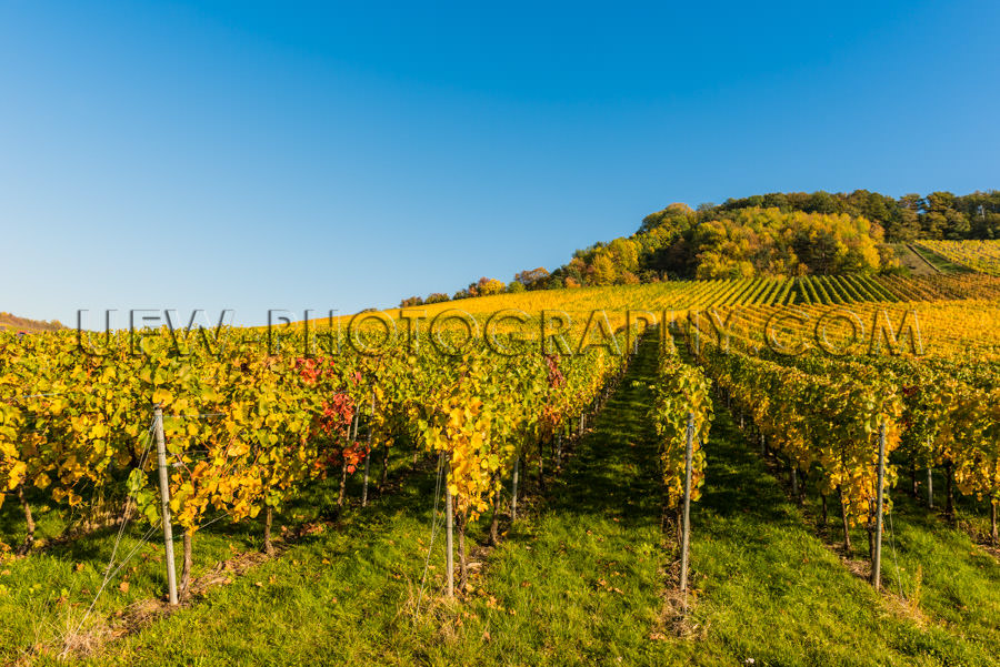 Natural hilly vineyard autumn colorful rows grapevines Stock Ima