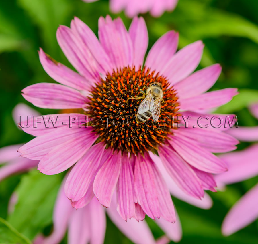 Awesome blossom honeybee echinacea Macro coneflower flower head