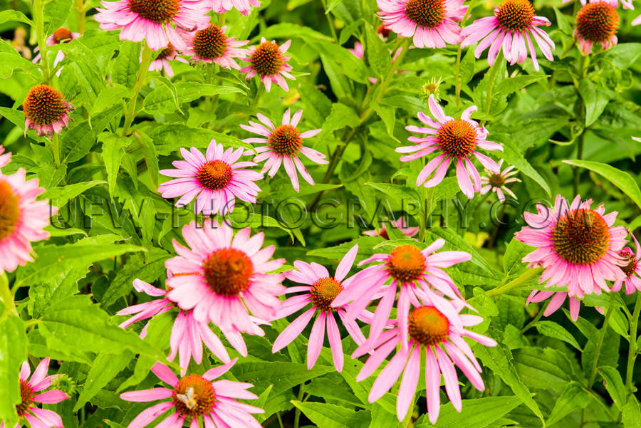 Beautiful Flower Bed Blossom Echinacea Coneflower Honeybee Close
