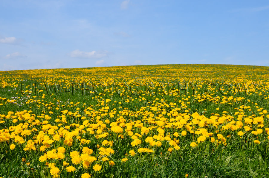 Beautiful spring meadow yellow dandelion blossoms blue sky Stock