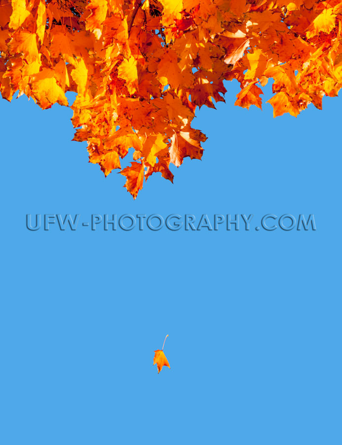 Colorful autumn leave falling down flying tree blue sky Stock Im