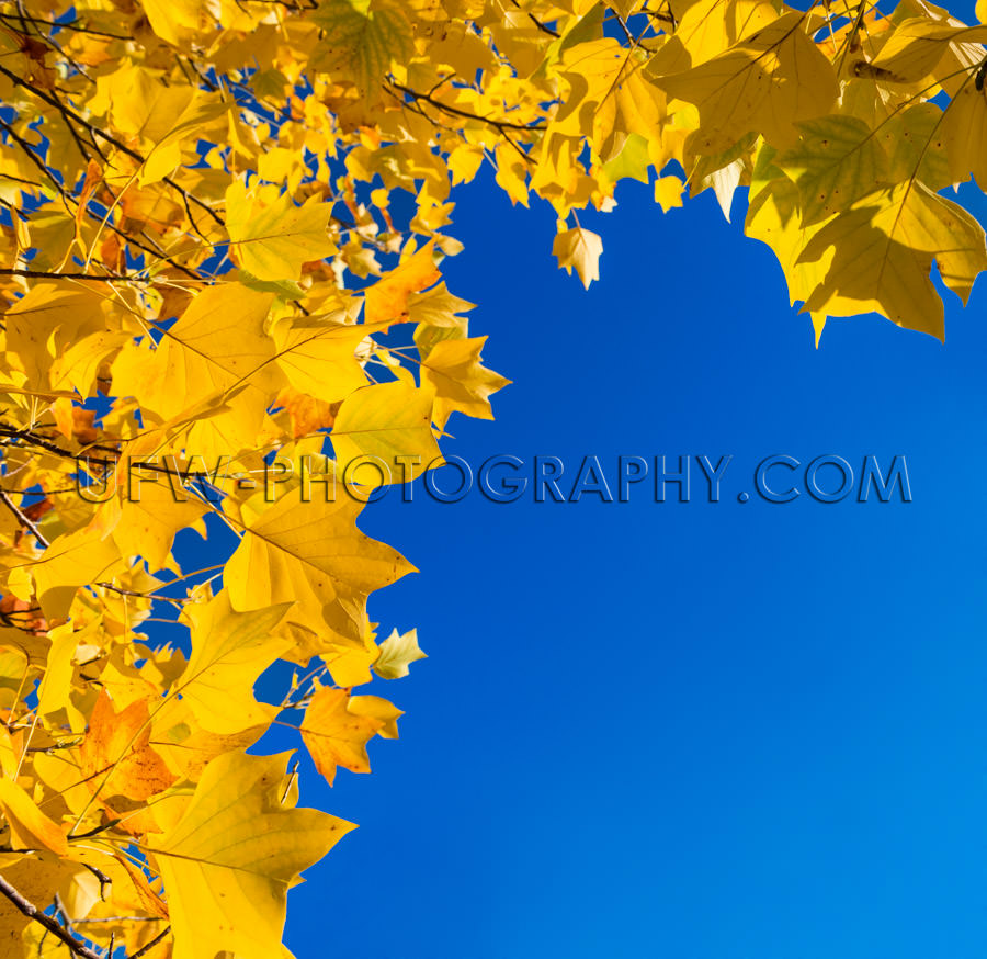 Frame golden autumn leaves yellow deep blue sky copy-space Stock