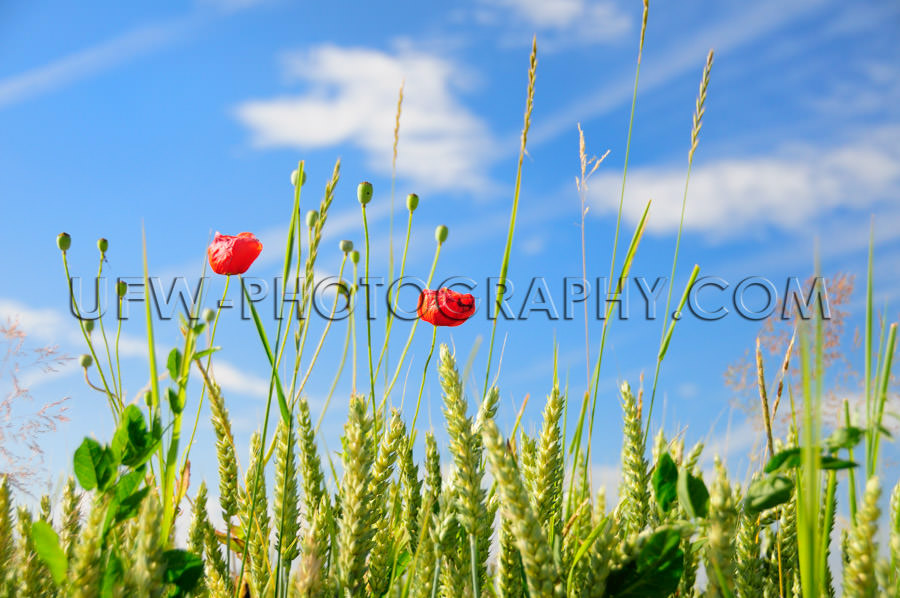 Grass, grain and vivid red poppy flowers blue sky - Stock Image