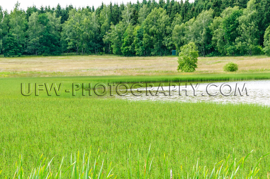 Green reed meadow lake forest landscape conservation area Stock