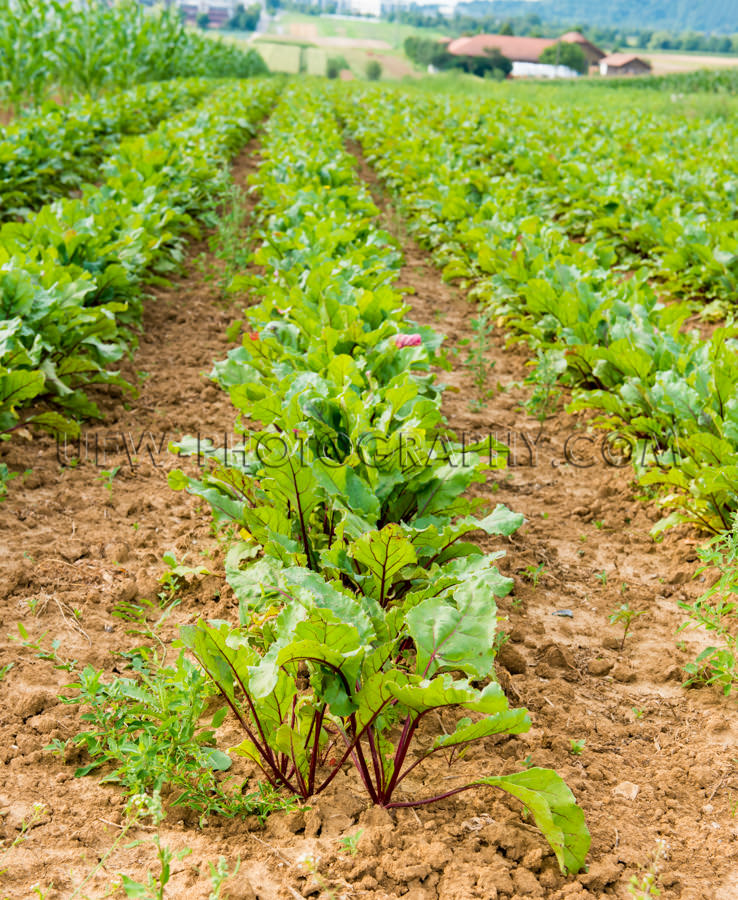 Green vegetables rows growing field farmhouse agriculture Stock