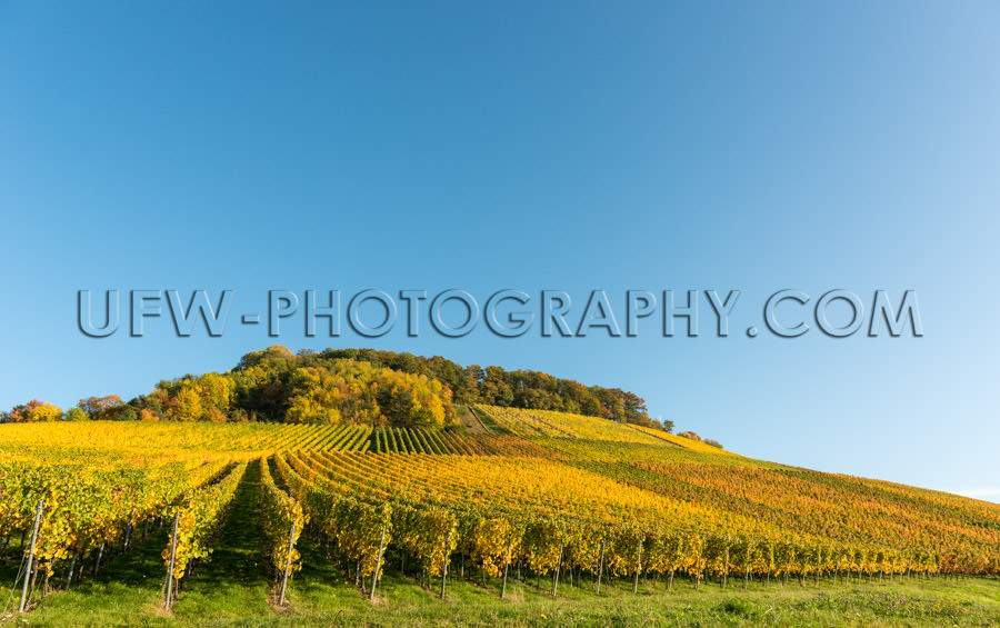 Idyllic autumn vineyard hill rows grapevines deep blue sky Stock