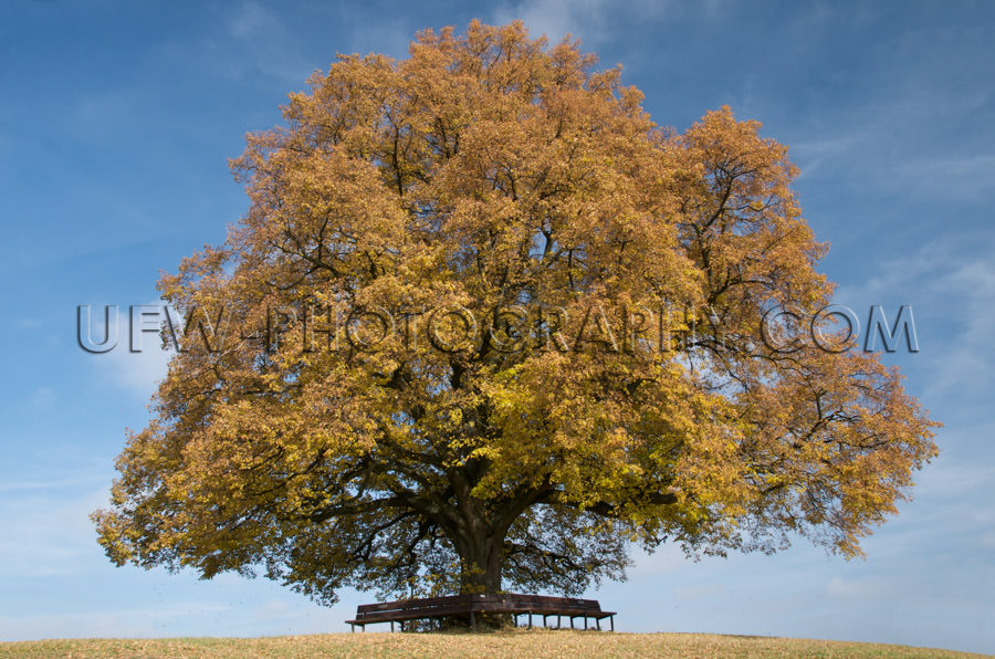 Old linden tree, fall colors, against blue partly cloudy sky - S