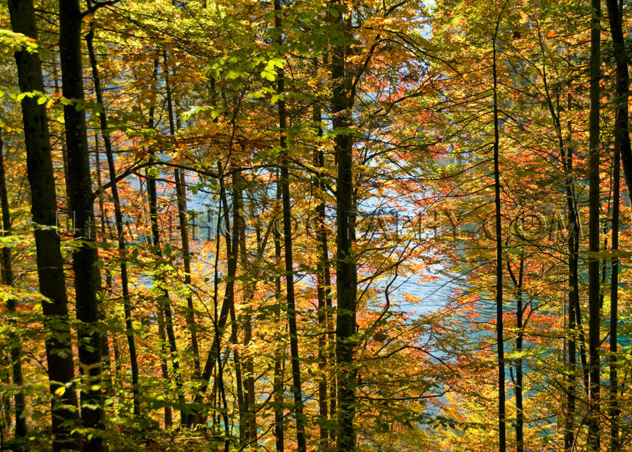 Trees with leaves in vibrant autumn colors, patches of water - S