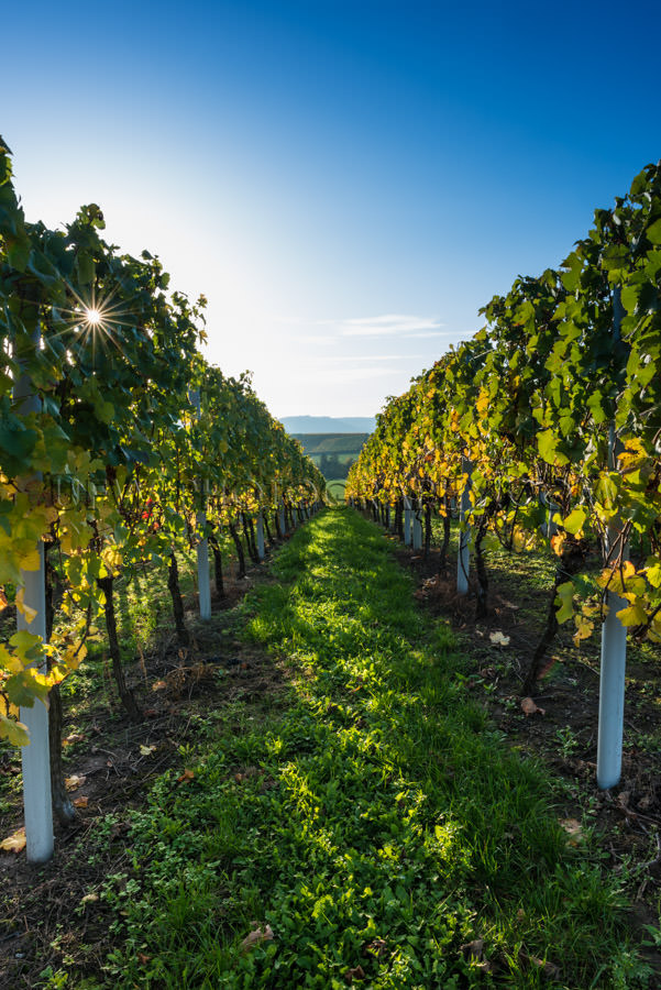 Vineyard autumn sun star glowing grapevines blue sky Stock Image