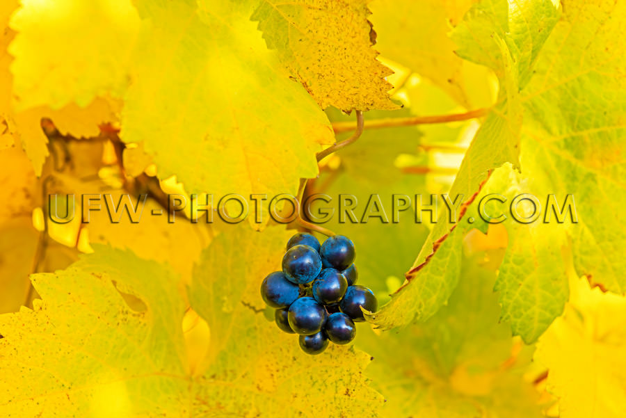 Autumn Light yellow grapevine leaves small cluster grapes Stock