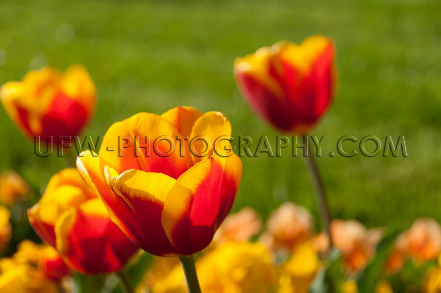 Beautiful tulip blossom flower head vivid colored beautiful spri