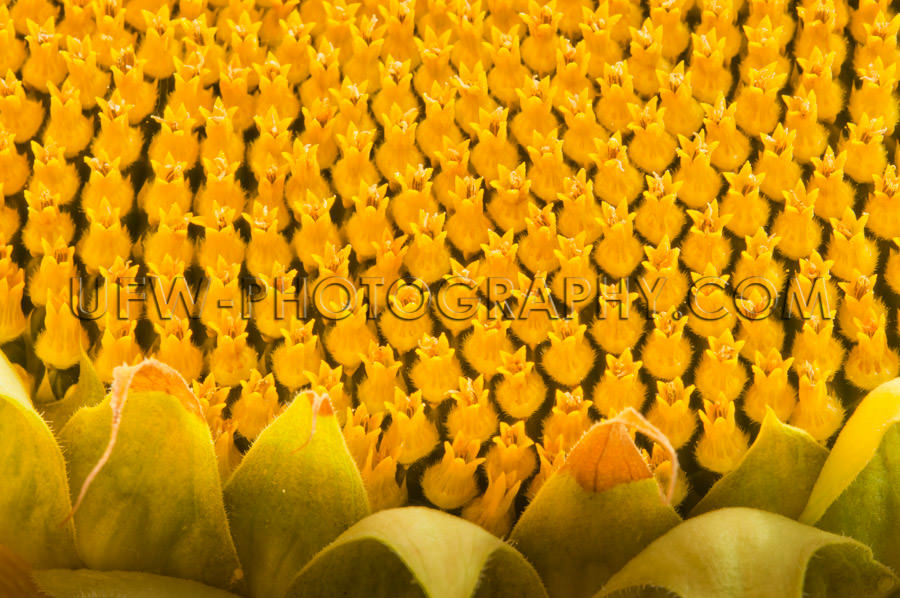 Bright yellow sunflower blossom detail macro full frame Stock Im
