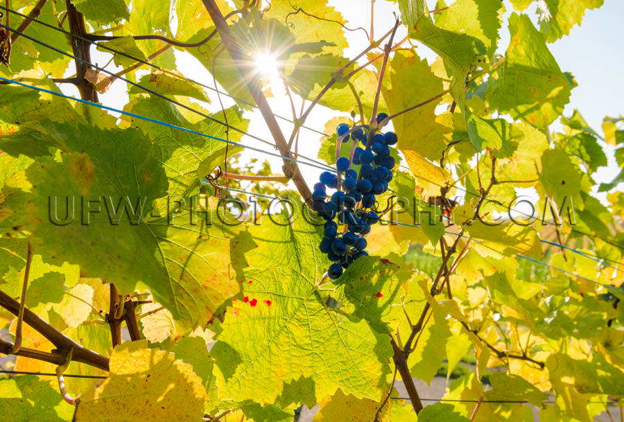 Cluster blue grapes grapevine leaves autumn sun star Stock Image