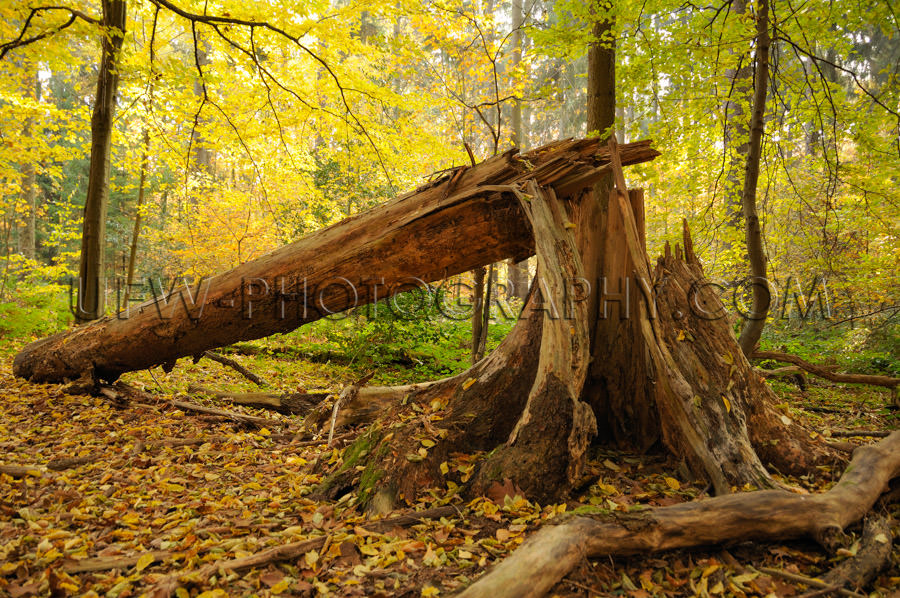 Idyllic autumn fallen splintered tree weatherbeaten beautiful fo