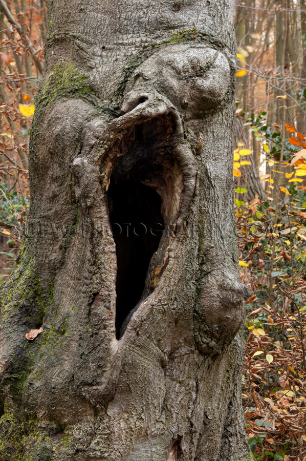 Old knotted gnarled tree large black hole mysterious Stock Image