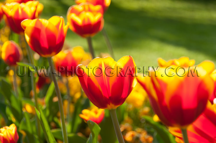 Tulips flower head vivid colored beautiful spring park Stock Ima