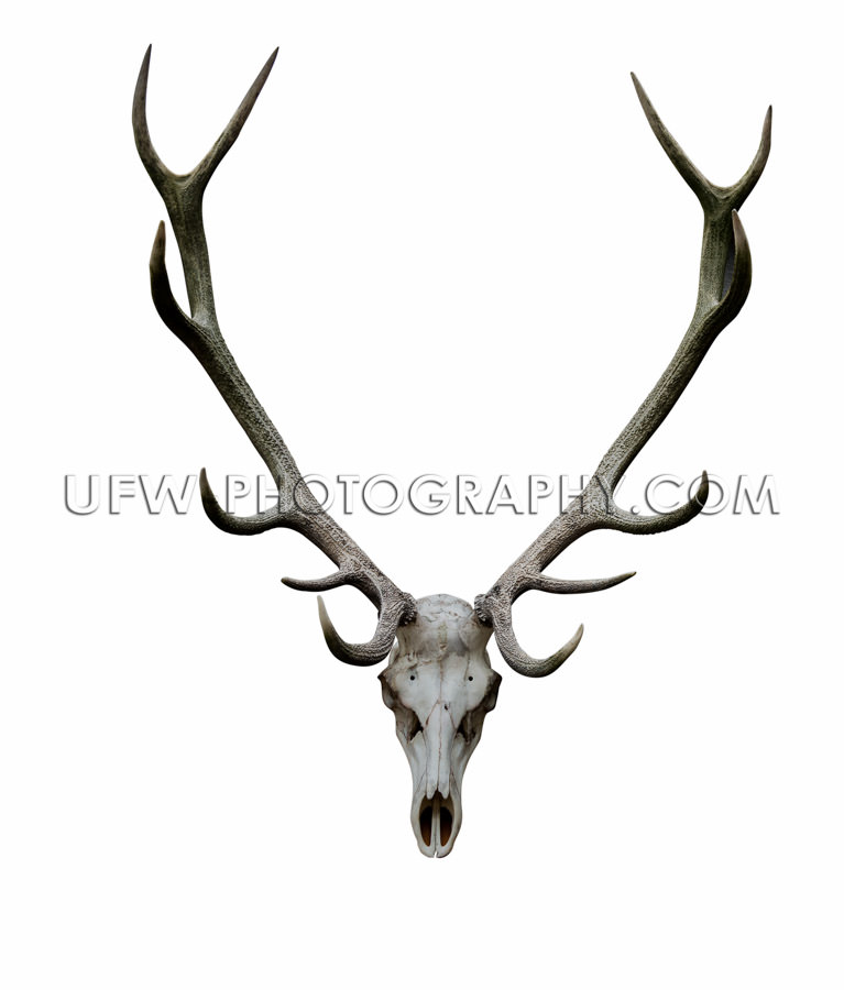 Deer antlers isolated white path animal skull XXL Stock Image