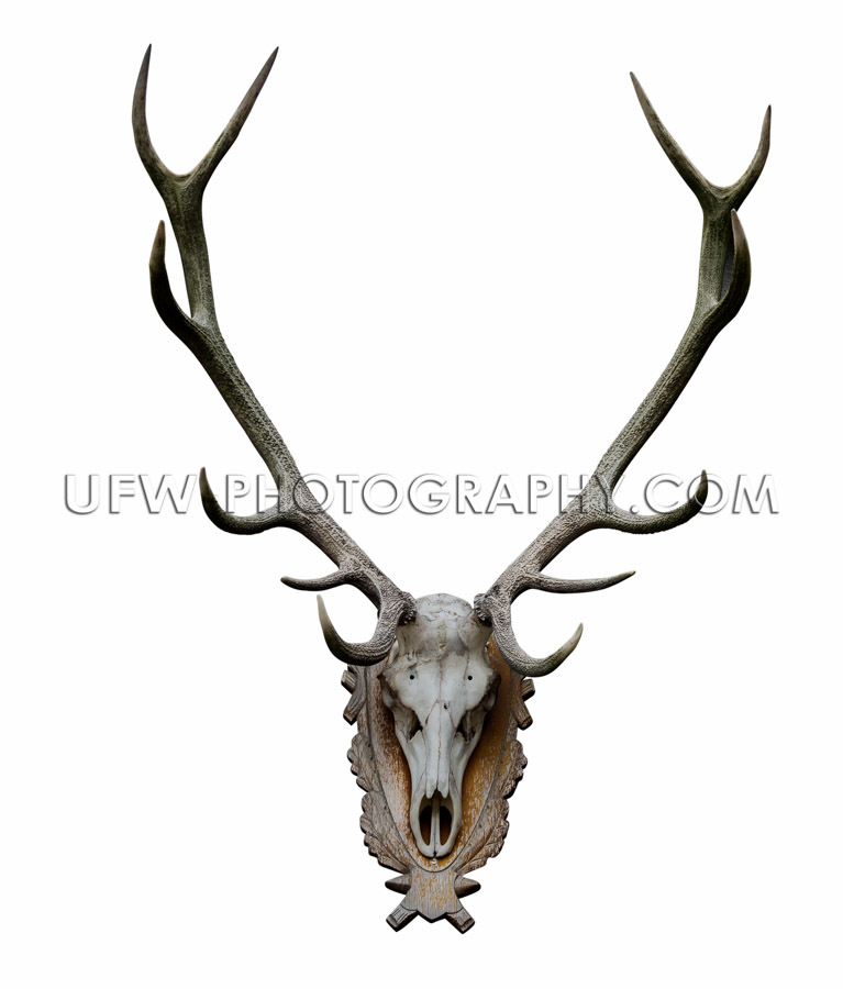 Deer antlers isolated white path wooden wall-mount animal skull