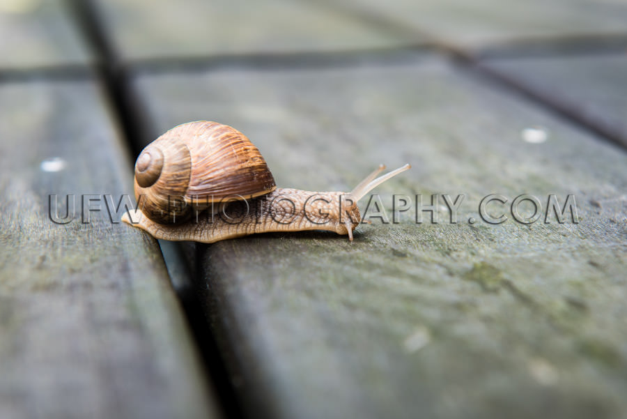 Roman snail crawls crosses gap between patio planks close-up Sto