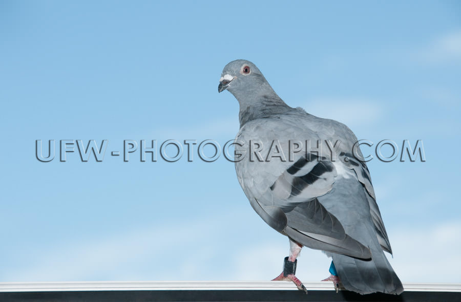 Standing homing pigeon looking leg-rings blue sky close-up Stock
